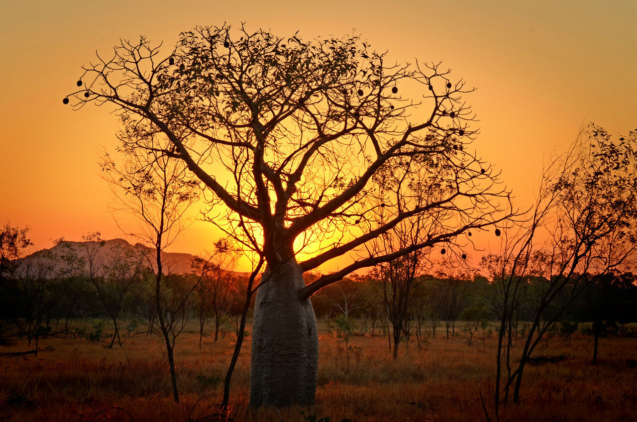 Boab Tree in Australian Desert Australia Beauty In Nature Boab Tree Desert Nature No People Outdoors Silhouette Sun Sunset Tree WA