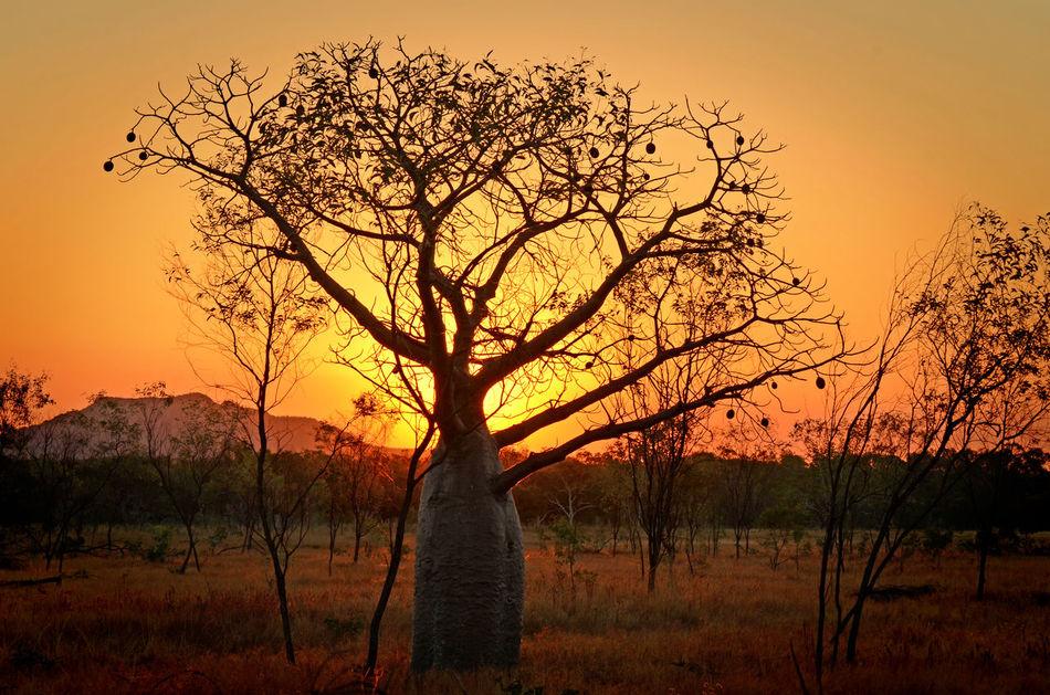 Boab Tree in Australian Desert Australia Beauty In Nature Boab Tree Desert Nature No People Outdoors Silhouette Sun Sunset Tree WA