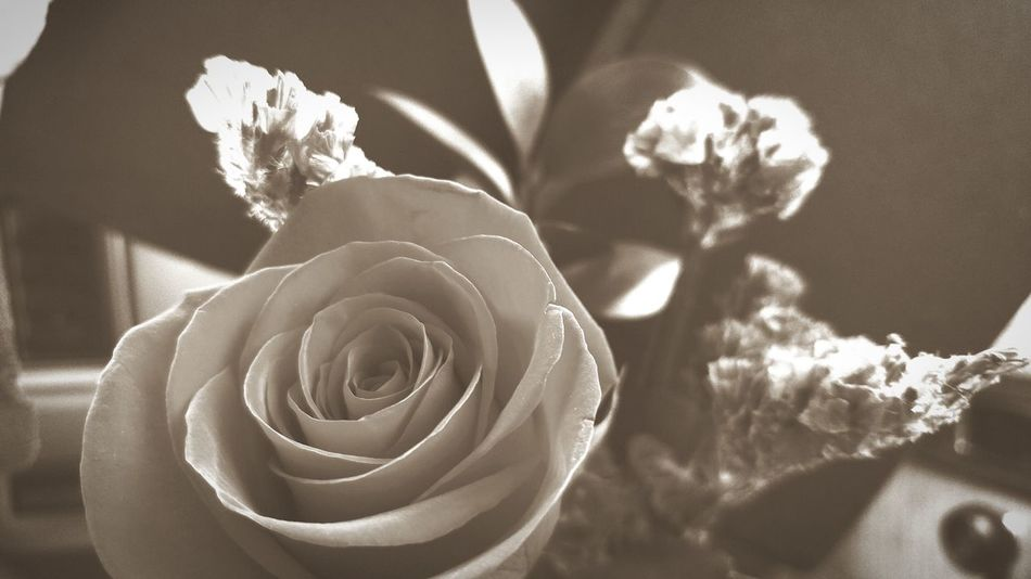Flower Fragility Nature Beauty In Nature Flower Head Freshness Rose - Flower Close-up Plant Growth Outdoors No People Tranquil Scene Romance Of Nature Beauty In Nature Landscape Passion Oregon Beauty Sepia Nature Roses, Flowers, Nature, Garden, Bouquet, Love, Tranquility Plantography Flowers Photographing