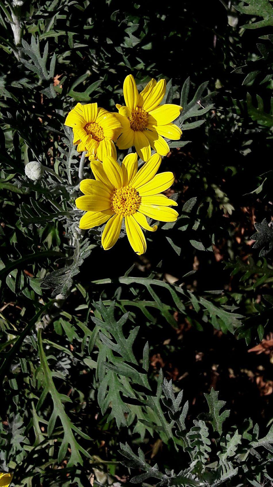 Yellow Nature Beauty In Nature Flower Flower Head Close-up Outdoors Petal Leaf Yellow Color Daisyflower