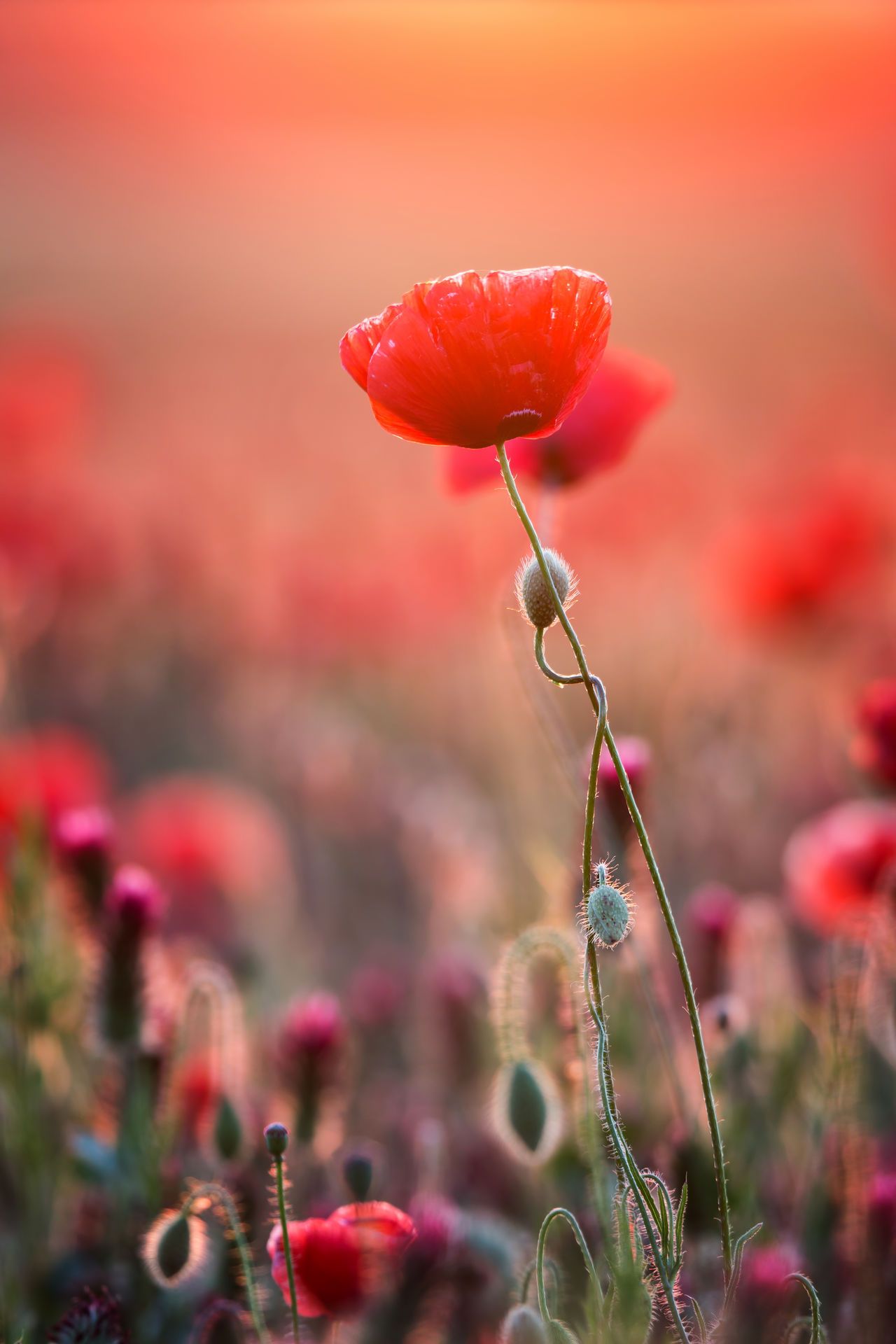 Beauty Beauty In Nature Blossom Close Up Close-up Day Flower Flower Collection Flower Head Flowers Fragility Freshness Growth Nature Nature Nature Photography Nature_collection No People Outdoors Petal Plant Poppy Red Red Rural Scene