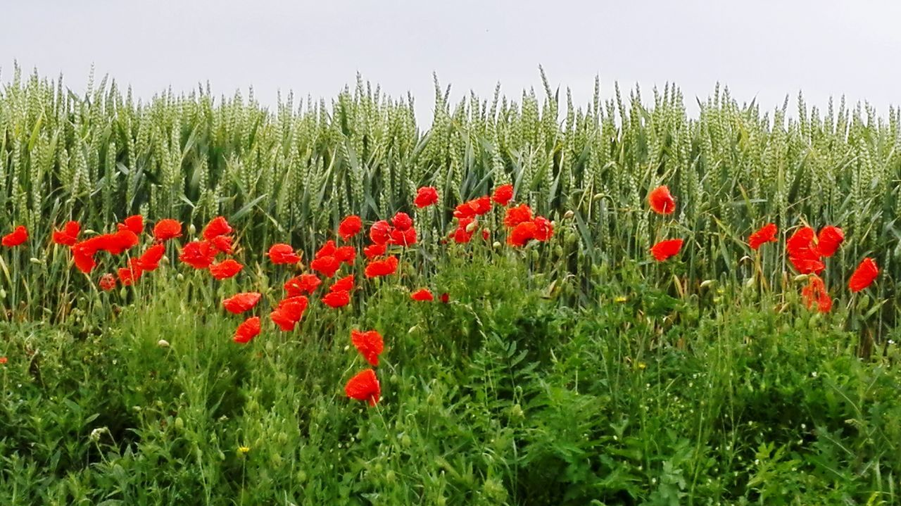 Red Poppies Blooming On Field Against Sky