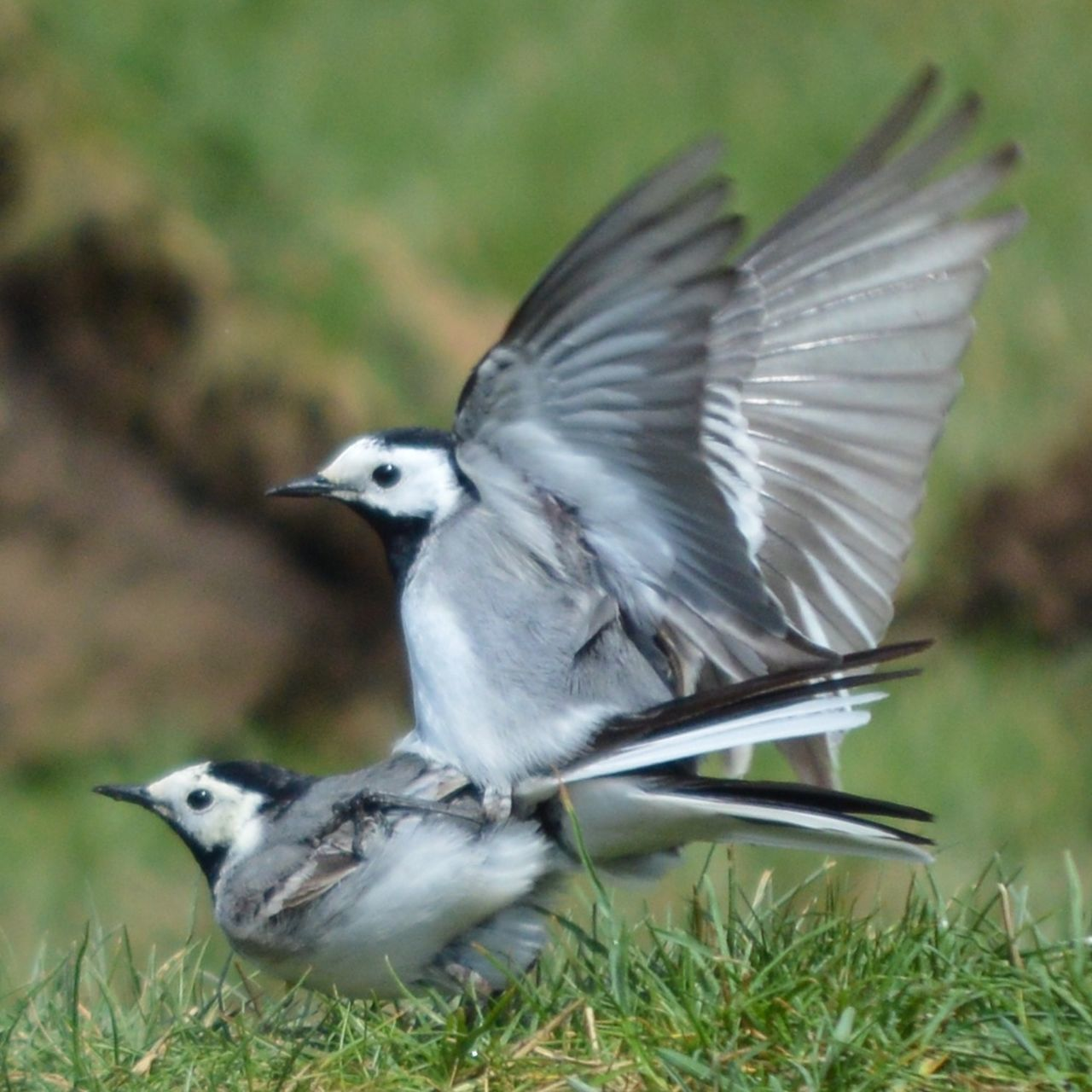 Animal Themes Animal Wildlife Animals In The Wild Beauty In Nature Bird Bird Mating Close-up Day Field Grass Mating Mating Pair Of Bird Nature No People One Animal Outdoors Spread Wings