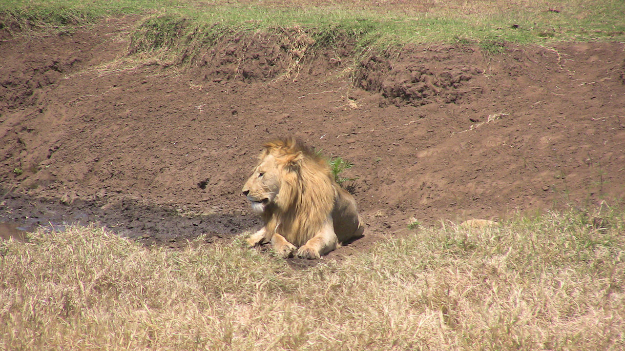 Beautiful stock photos of lion, Animals In The Wild, Arid, Day, Drought