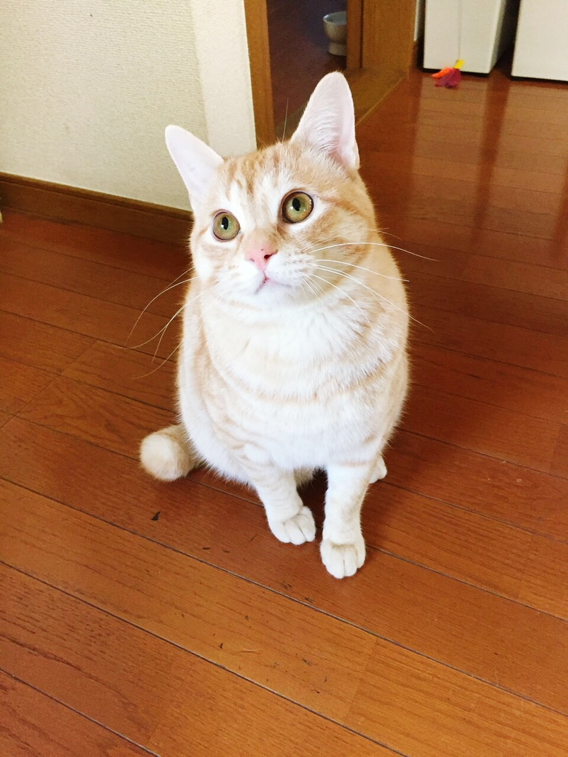 domestic animals, pets, domestic cat, animal themes, indoors, one animal, cat, looking at camera, portrait, whisker, feline, mammal, sitting, home interior, staring, alertness, full length, hardwood floor, animal eye, front view, flooring, at home, zoology, wooden floor, whiskers