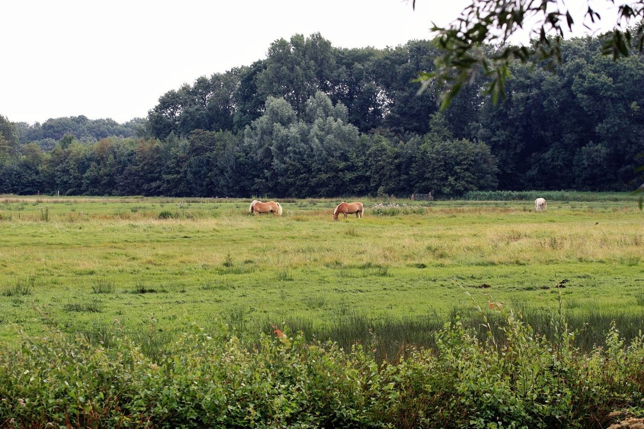 tree, grass, field, nature, animal themes, landscape, mammal, cow, no people, grazing, growth, forest, farm animal, domestic animals, day, outdoors