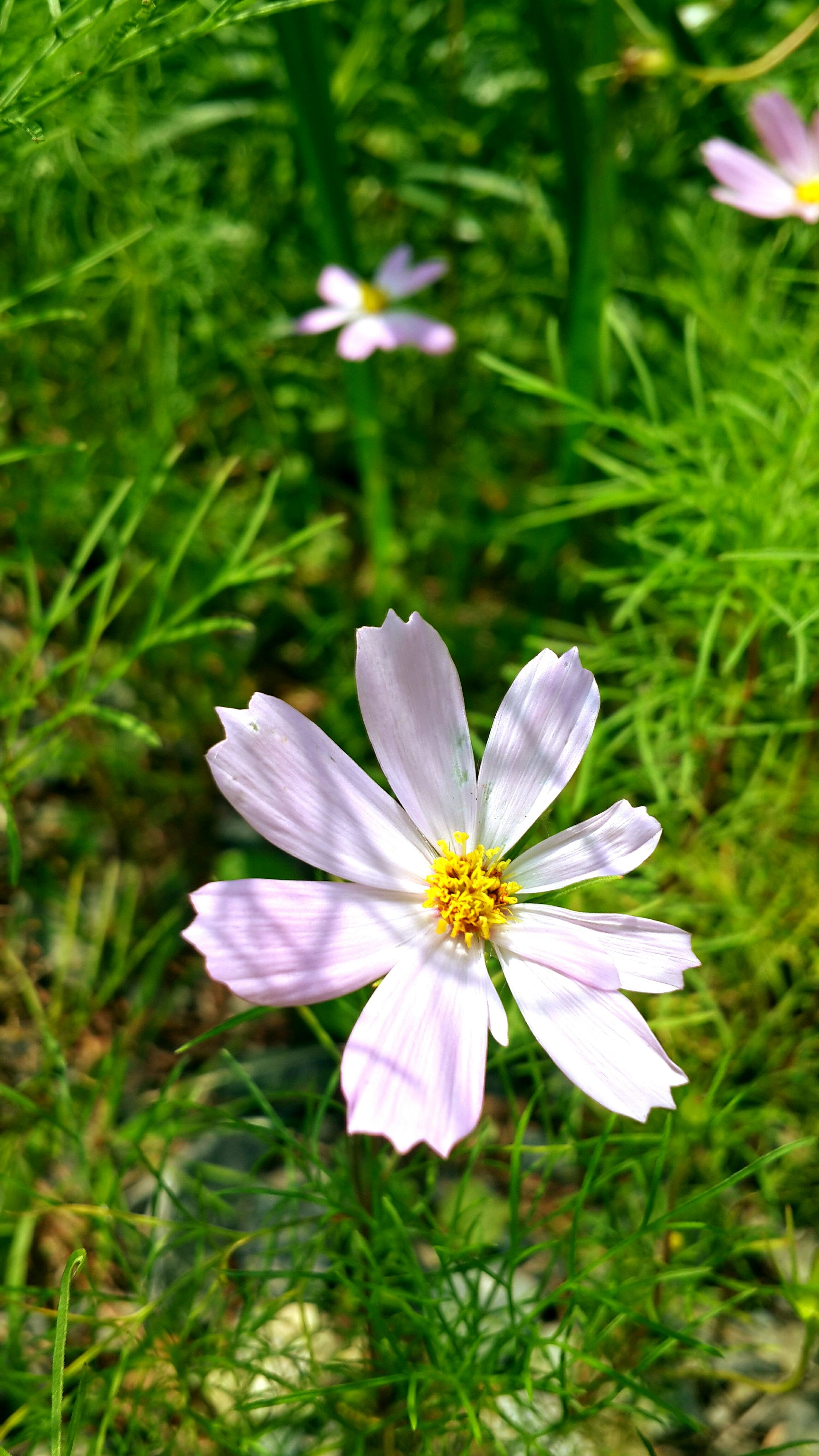 flower, freshness, petal, growth, fragility, flower head, beauty in nature, blooming, nature, focus on foreground, purple, plant, close-up, pollen, in bloom, green color, stamen, day, blossom, no people, outdoors, botany, stem, grass, pink color, selective focus, tranquility
