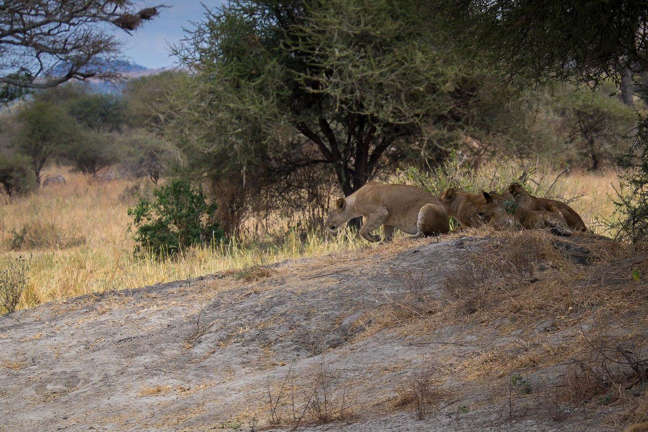 Lions Bigcats FUJIFILM X-T1 Tansania Nature Tarangire National Park Tarangire EyeEmNewHere Safari