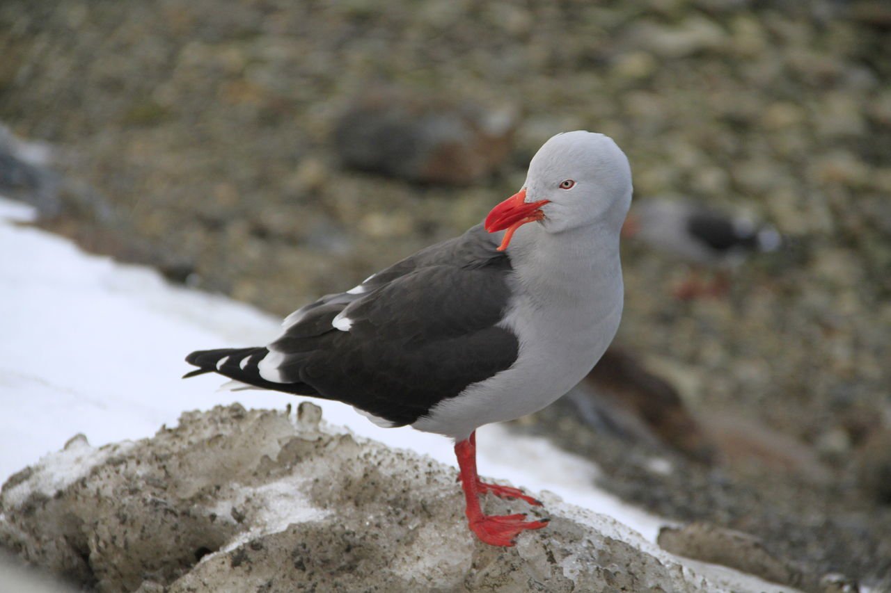 Animal Themes Bird Birds Of EyeEm  Nature Photography Snow Ushuaïa Wildlife Wildlife & Nature