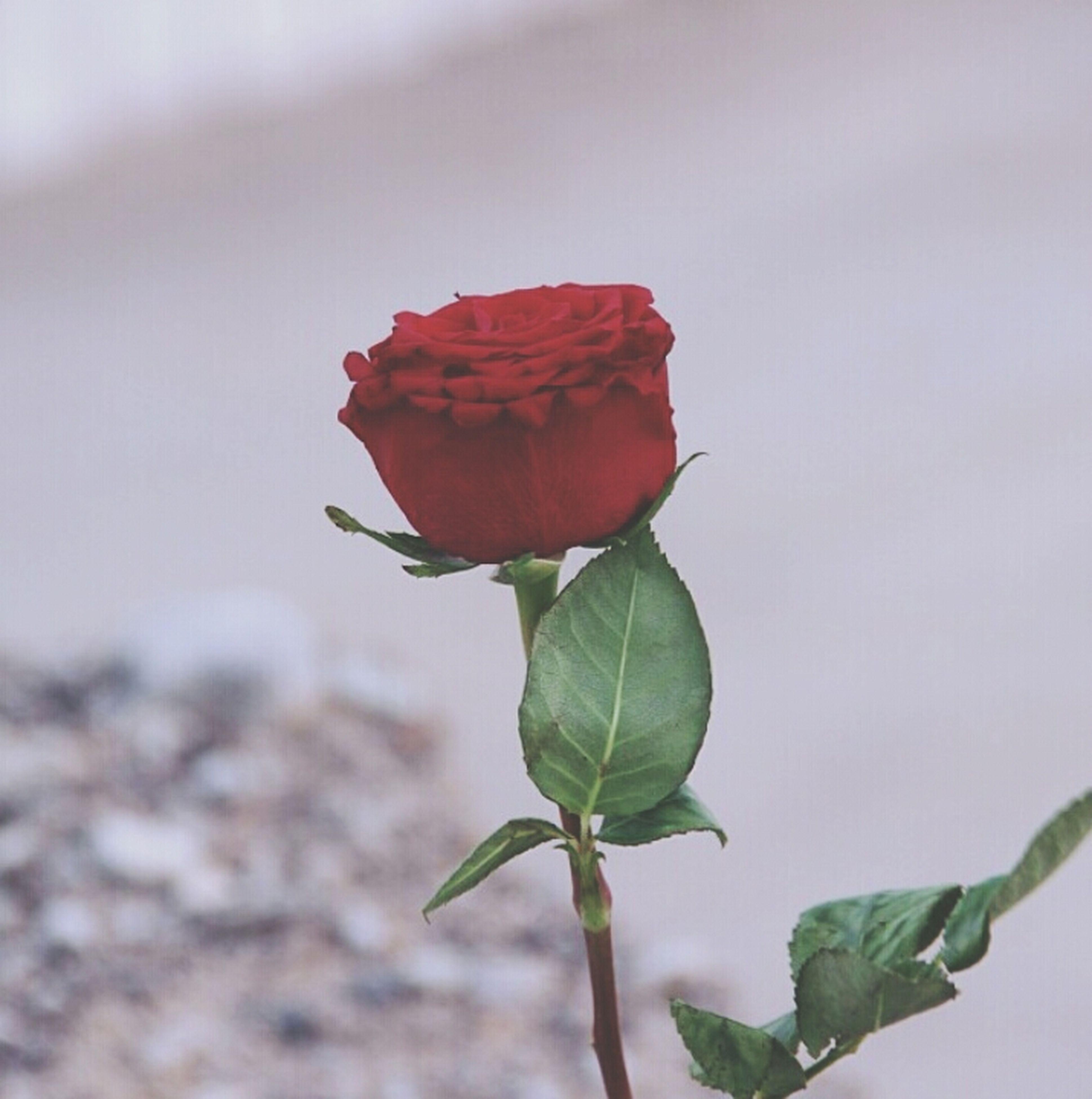leaf, flower, fragility, rose - flower, close-up, petal, growth, freshness, red, plant, beauty in nature, flower head, nature, stem, single flower, focus on foreground, bud, rose, leaf vein, new life