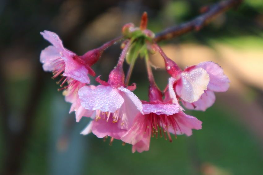 pink cherry blossom or Sakura flower in raining day. Beautiful Cherry Blossoms Light Nature Rain Sakura Spring Has Arrived Beauty In Nature Close-up Day Drop Flower Flower Head Focus On Foreground Fragility Freshness Growth Nature No People Outdoors Petal Pink Color Plant Season  Water