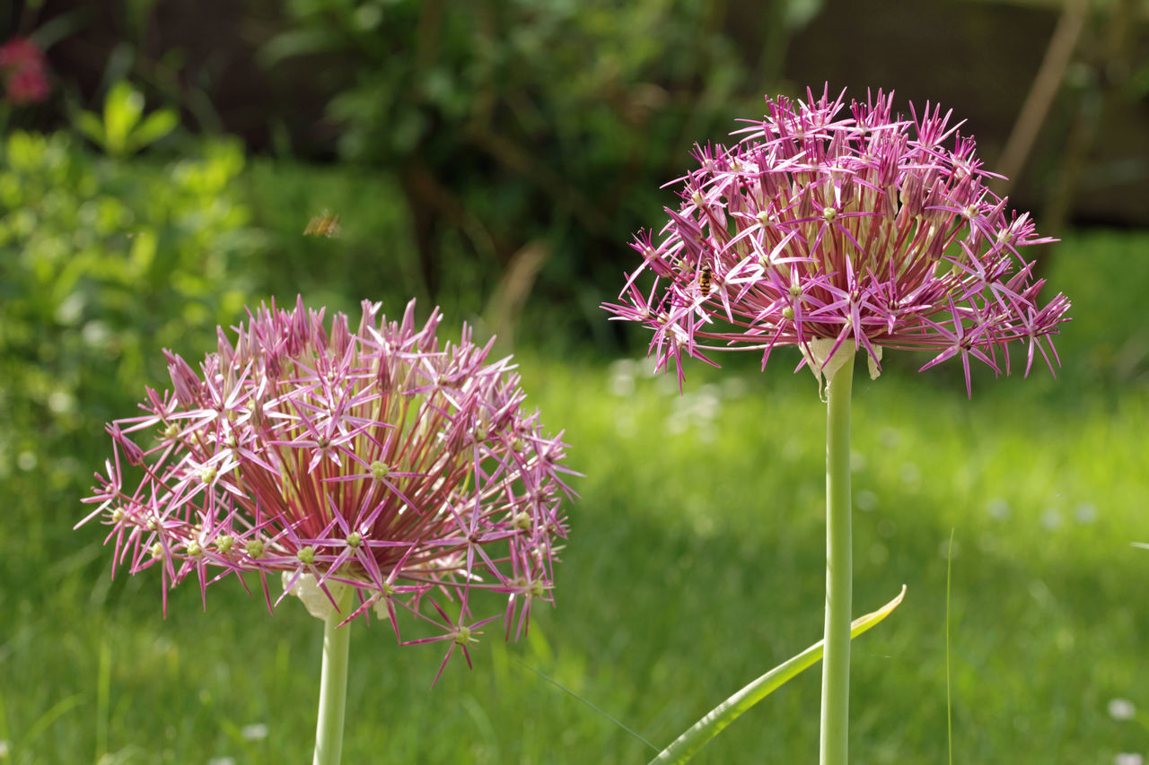 Allium Cristophii Beauty In Nature Blooming Close-up Day Field Flower Flower Head Focus On Foreground Fragility Freshness Growth Nature No People Outdoors Petal Plant Purple Springtime Sternkugel-Lauch Thistle Zierlauch Zierpflanze
