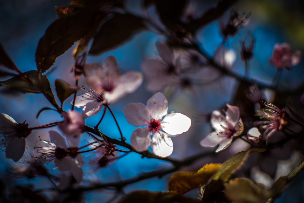 flower, fragility, beauty in nature, growth, petal, nature, branch, no people, tree, freshness, flower head, close-up, day, springtime, low angle view, outdoors, sky