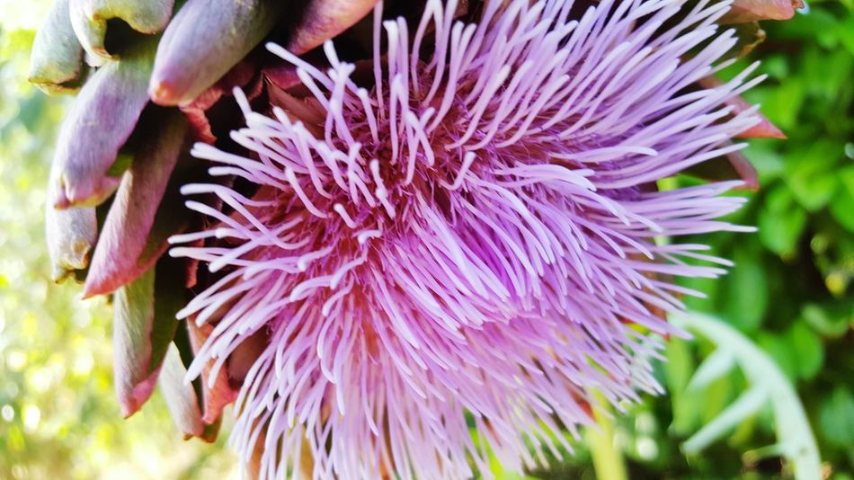 Purple Flower Holiday Lights Artichoke Artichoke Flower Vegetable Flower Purple Close-up Nature Pink