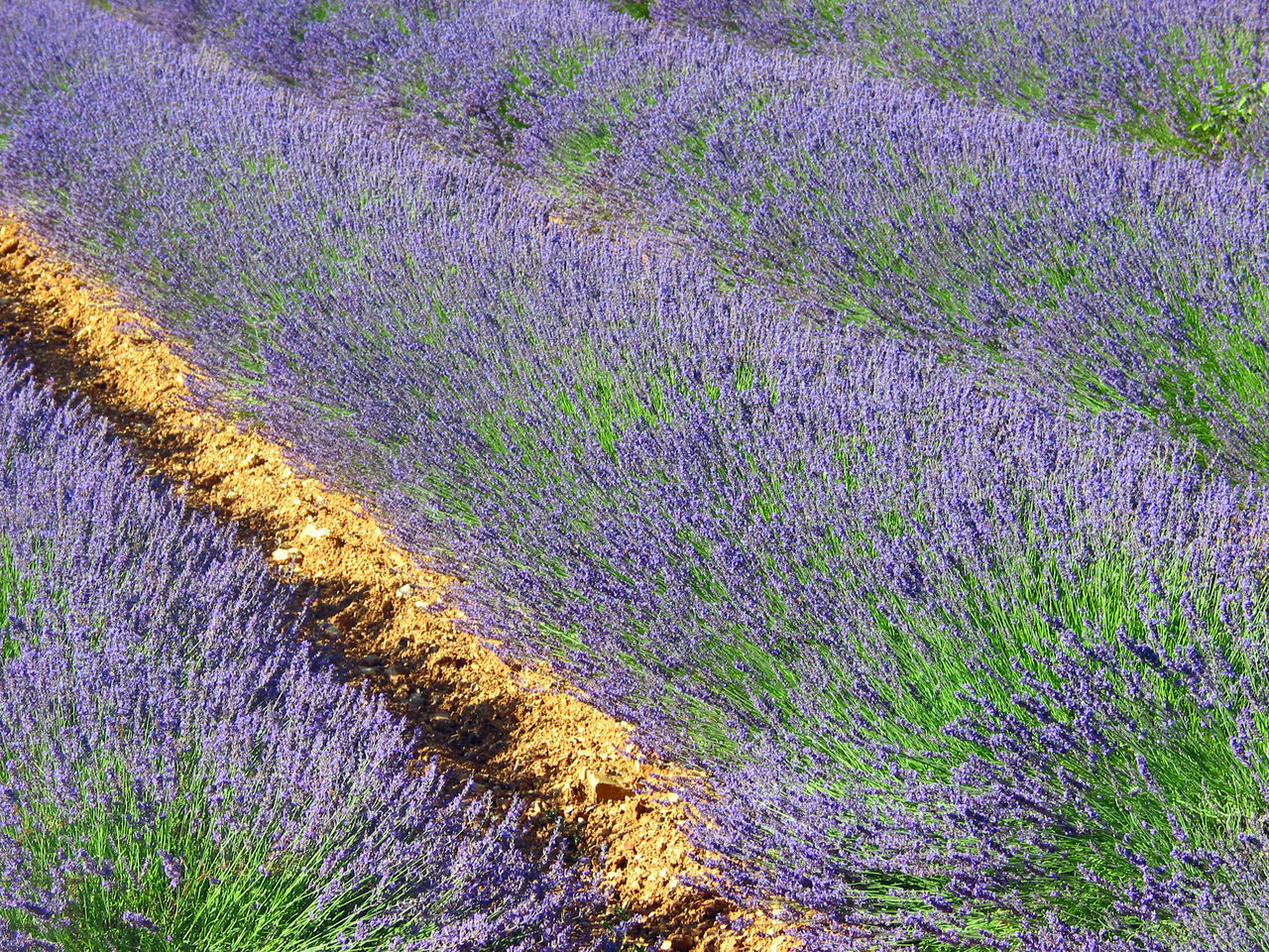 High Angle View Of Lavender Growing On Field
