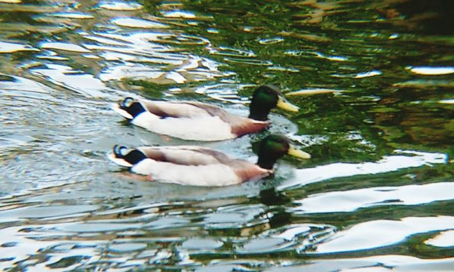 10/16 Animal Themes Water Swimming Pond Animals In The Wild Nature Bird Duck Waterfront No People Outdoors Water Bird Day Beauty In Nature Floating On Water Lake Yokohama Friendship Popular EyeEm Best Shots Tranquility Tourist Attraction  The Week Of Eyeem Travel Check This Out