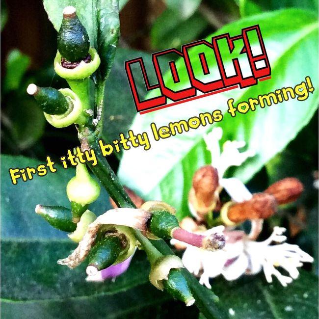 Fav_Friday Lemons Lemon Tree Lemon Blossoms Spring Early Spring Texas Winter When Life Gives You Lemons, Make Lemonade