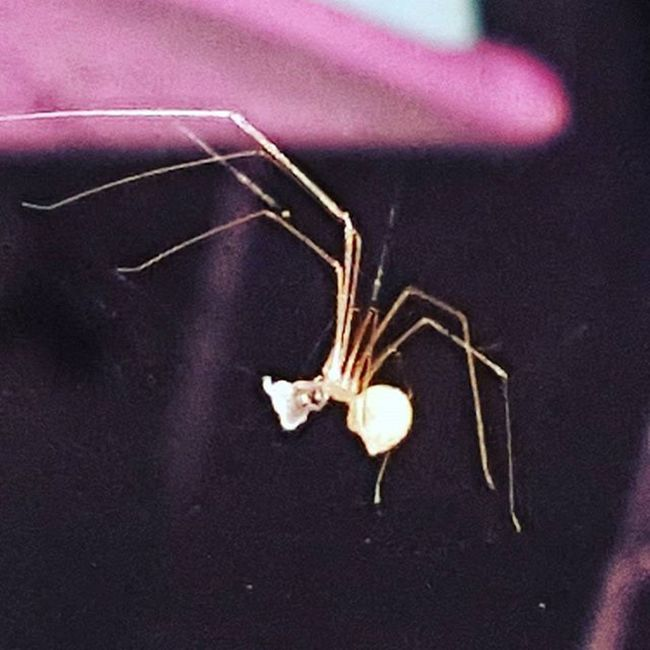 😨🕸🕷 so I get all comfy in bed and looked up.. right above my head... 😲 not happening tonight spiderman! Spiderman Spider Howwhenwherewhy Abudhabi UAE Daddylonglegs Butmostprobabl Hisarabiccousin Hellno