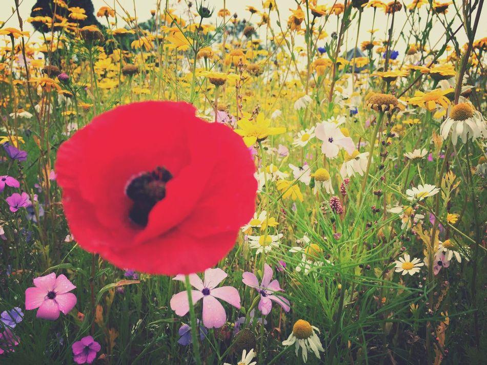 Single Poppy Poppy
