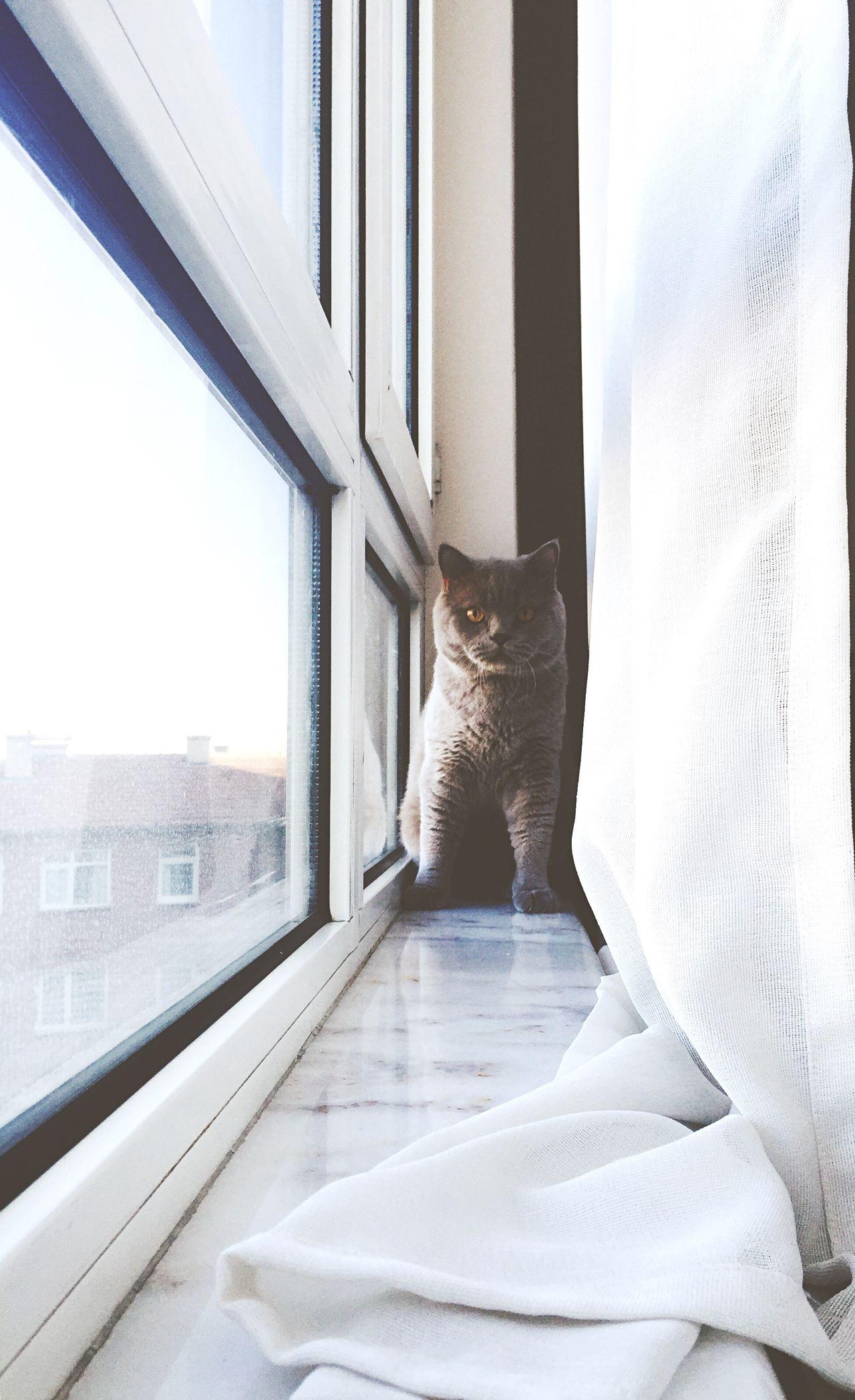 Beautiful stock photos of ankara, Animal Themes, Ankara, Cat, Curtain