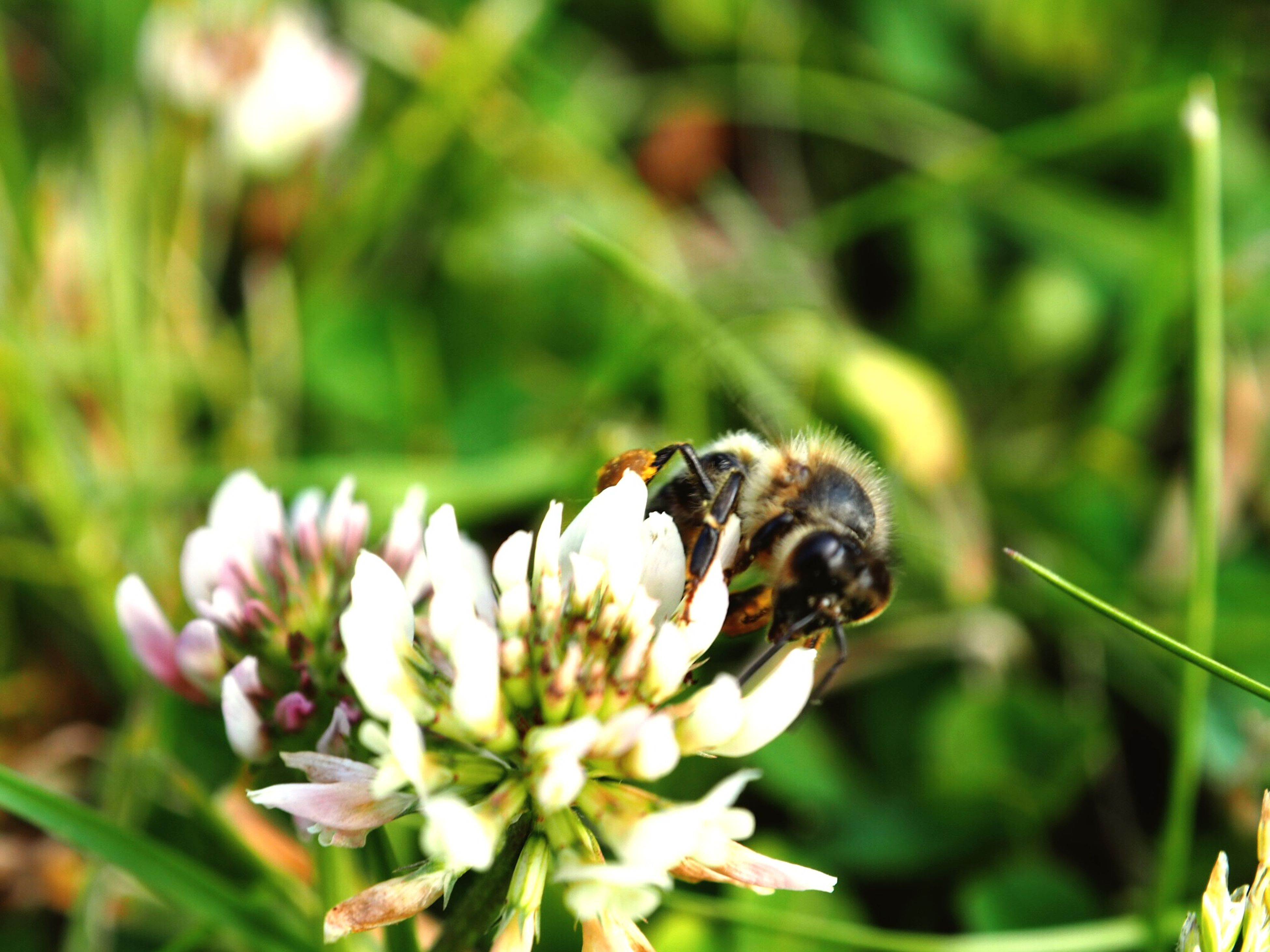 animal themes, flower, one animal, animals in the wild, wildlife, insect, growth, freshness, focus on foreground, fragility, petal, plant, beauty in nature, nature, close-up, flower head, white color, blooming, pollination, bee
