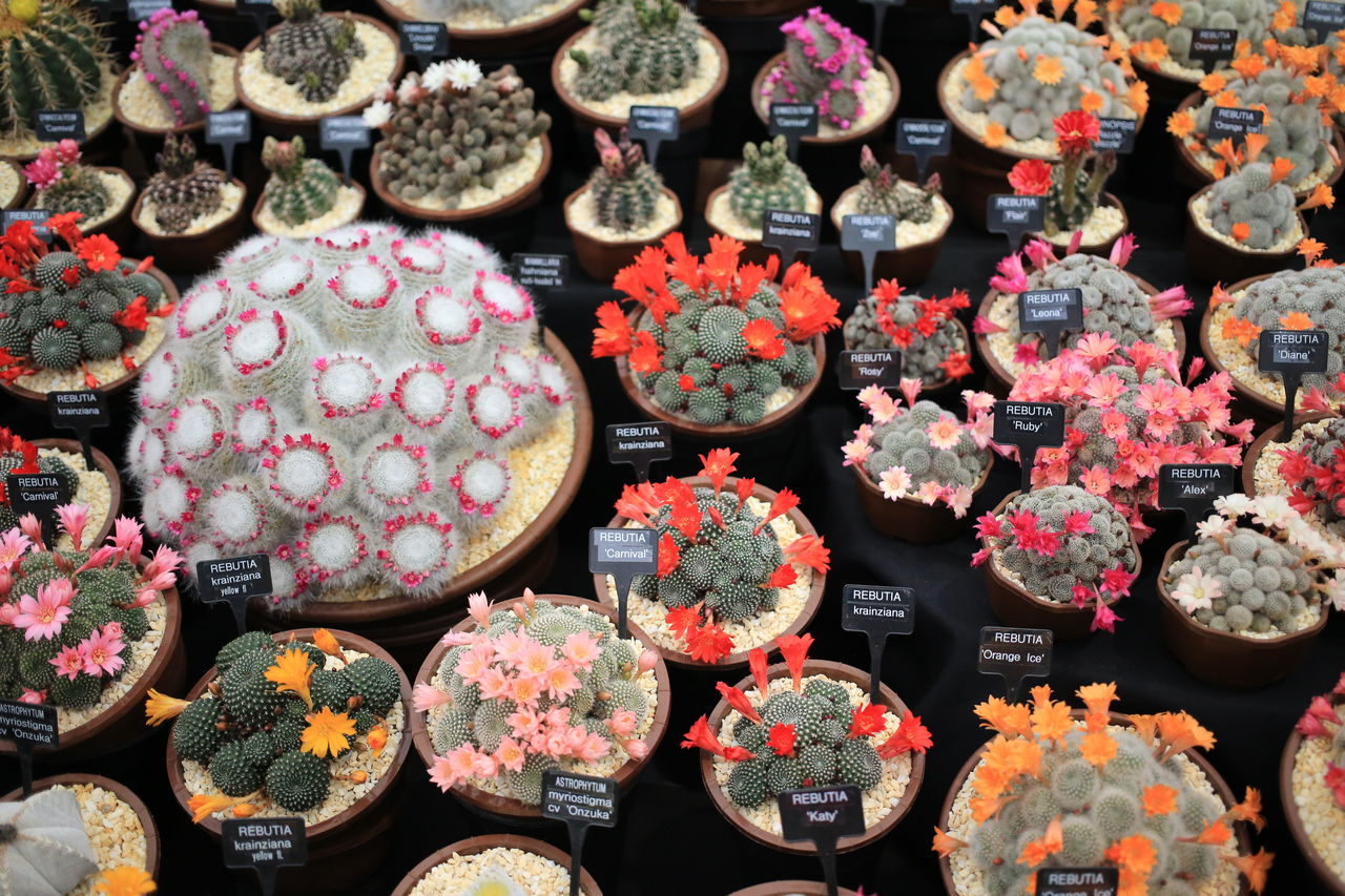 RHS Chelsea Flower Show 2016 Abundance Arrangement Backgrounds Cactus Cactus Flower Chelsea Choice Collection Display Event Flower Flower Show For Sale Full Frame In A Row Large Group Of Objects Market Multi Colored Retail  RHS Chelsea Flower Show Sale Shop Still Life Store Variation