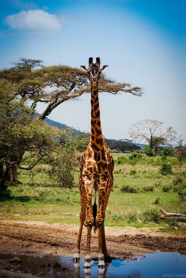 Serengeti — Tanzania Tanzanianationalparks Jiraffe Giraffe Water Reflections Waterhole Nikkon Nikkor 55-300mm Lens First Eyeem Photo