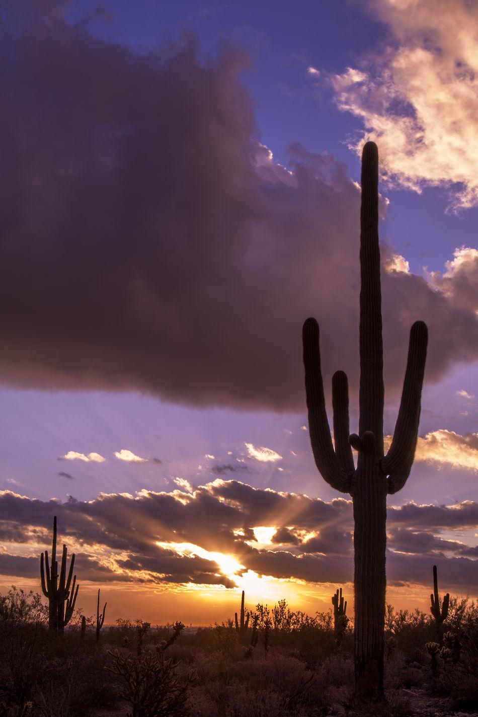 Saguaro Cactus silhouetted in the sunrise. American Southwest Arizona Beautiful Cactus Desert Deserts Around The World Dramatic Landscape Jtbaskinphoto Landscape Natural Beauty Nature Pheonix  Saguaro Saguaro Cactus Sun