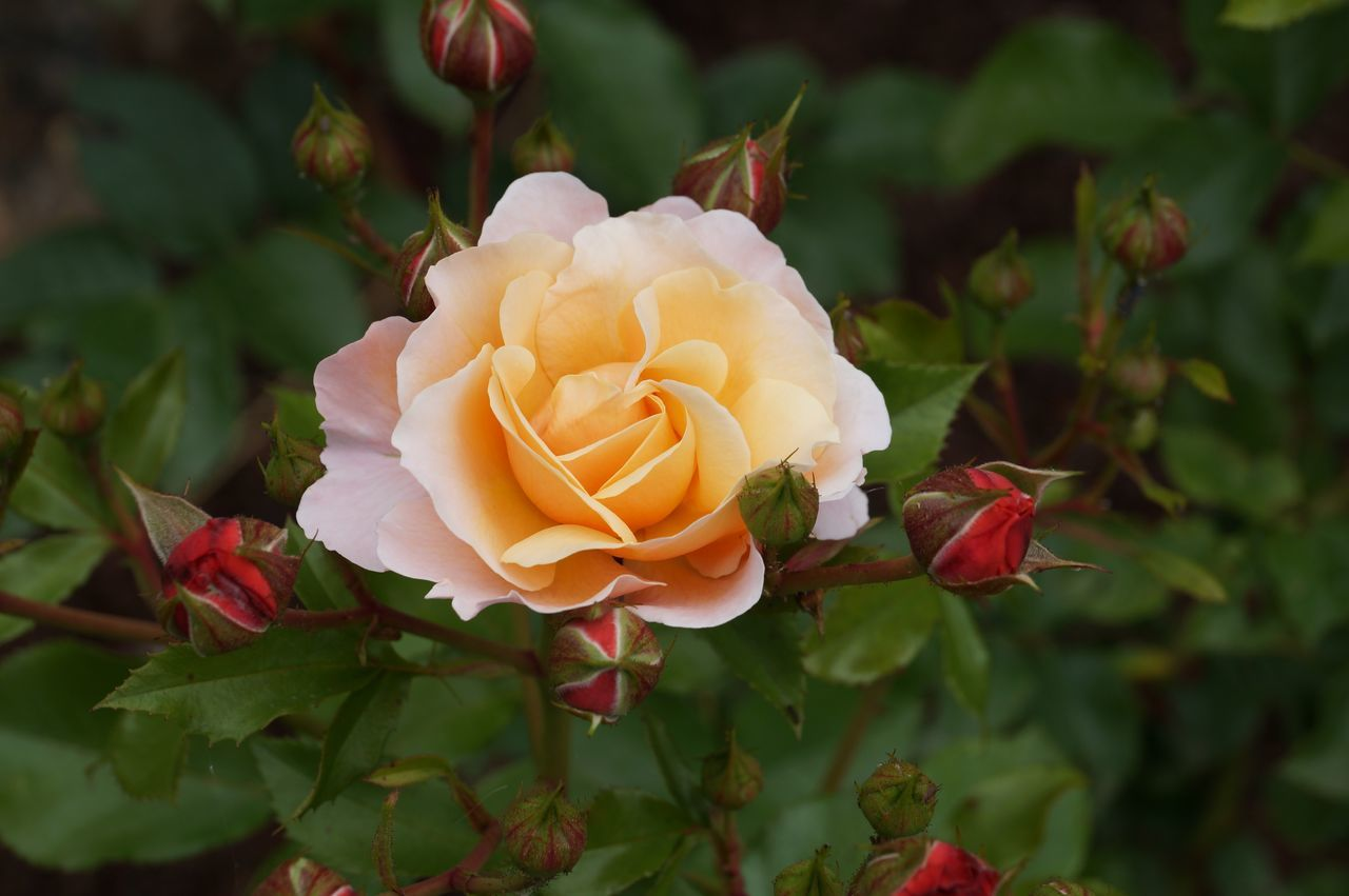 Beautiful stock photos of rosen, petal, fragility, flower, freshness