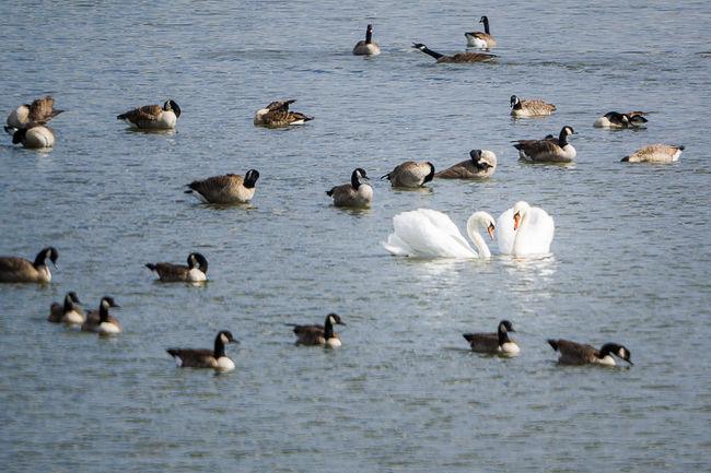 Anderstad Animals In The Wild Beauty In Nature Bird Flock Of Birds Lake Lier Nature Rippled Water Swan Swans ❤ Tranquility Water Bird Wildlife