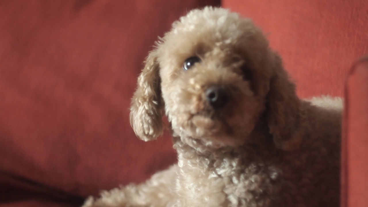 one animal, animal themes, dog, mammal, pets, poodle, domestic animals, looking at camera, portrait, animal hair, indoors, no people, close-up, cute, day