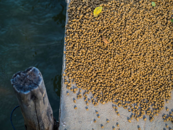 Animal Feed Animal Feeder Animal Feeding Close-up Day Feeding  Feeding Fish Fish Food Food Freshness High Angle View Nature No People Outdoors Water