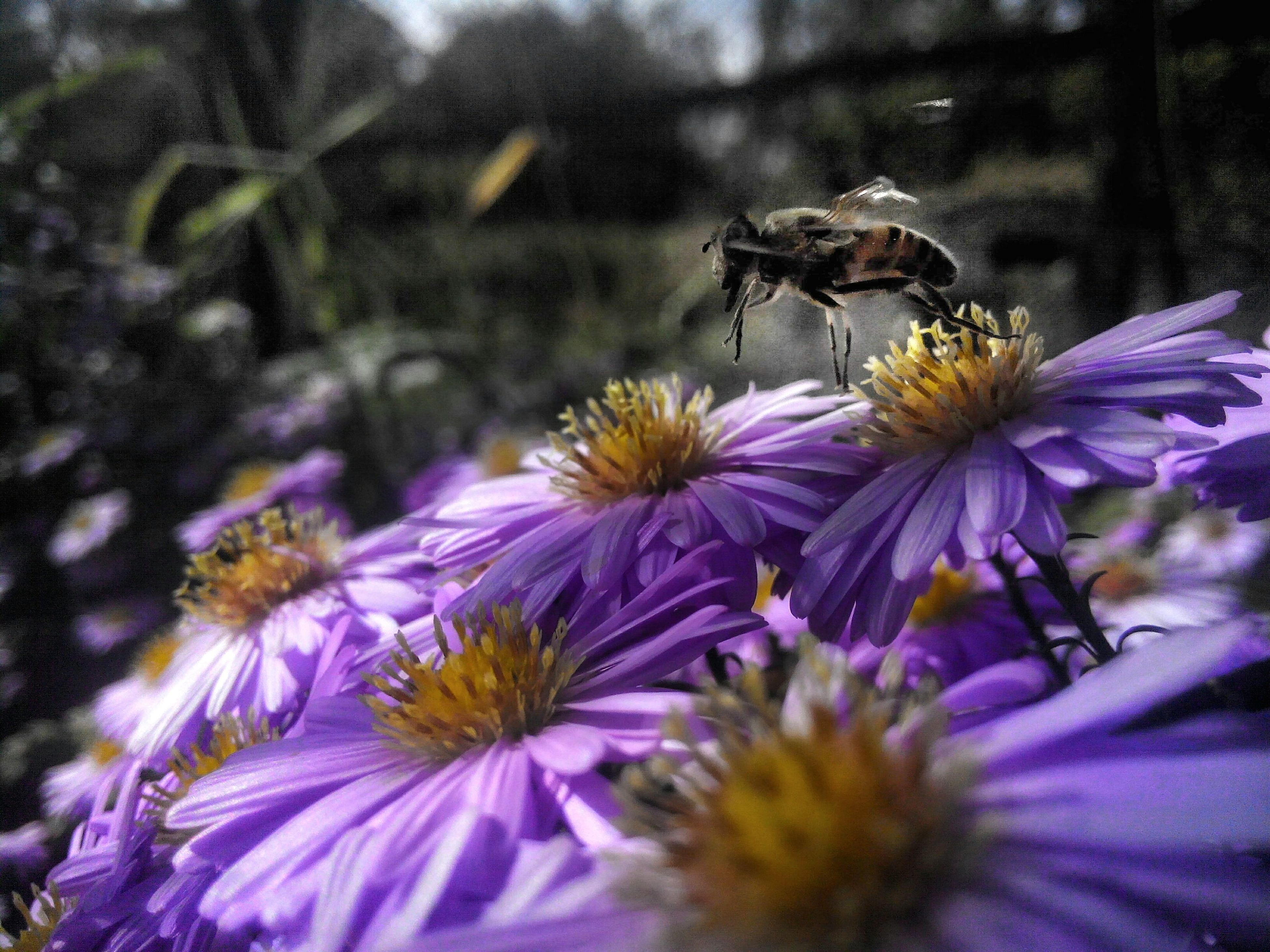 flower, freshness, nature, beauty in nature, fragility, animal themes, animals in the wild, purple, insect, one animal, petal, growth, symbiotic relationship, plant, pollination, animal wildlife, bee, blooming, flower head, no people, close-up, outdoors, day