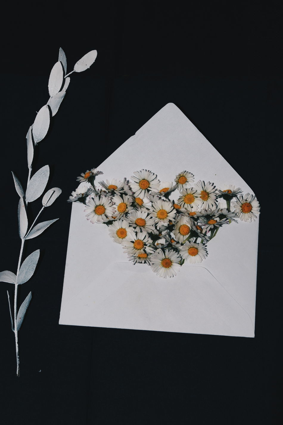 Beautiful stock photos of envelope, Beauty In Nature, Black Background, Daisy, Envelope
