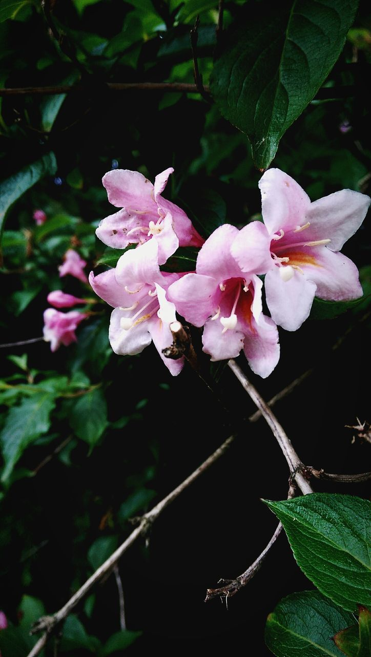 flower, growth, petal, fragility, pink color, beauty in nature, plant, flower head, nature, no people, blossom, freshness, leaf, close-up, day, outdoors, blooming