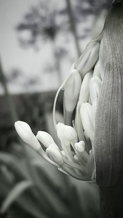 Nature Flower Botany Garden Outdoors Blackandwhite Close-up Vignette Emerging Blooming Patterns In Nature Encased Patterns & Textures Simplicity Monochrome Breaking Free Shapes All In One
