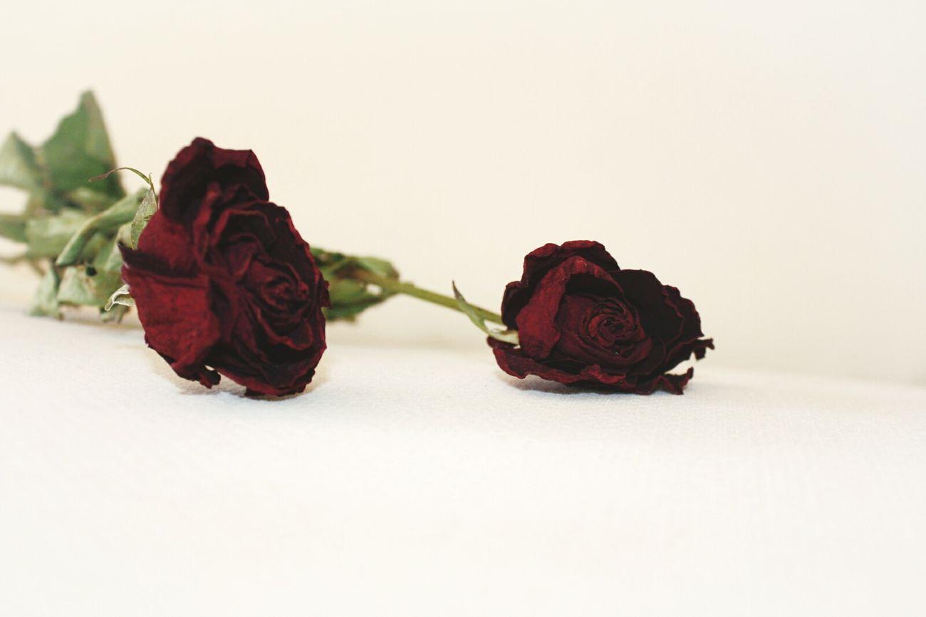 Rosa Rosas Rojo Rosas Rojas Beatiful Flower