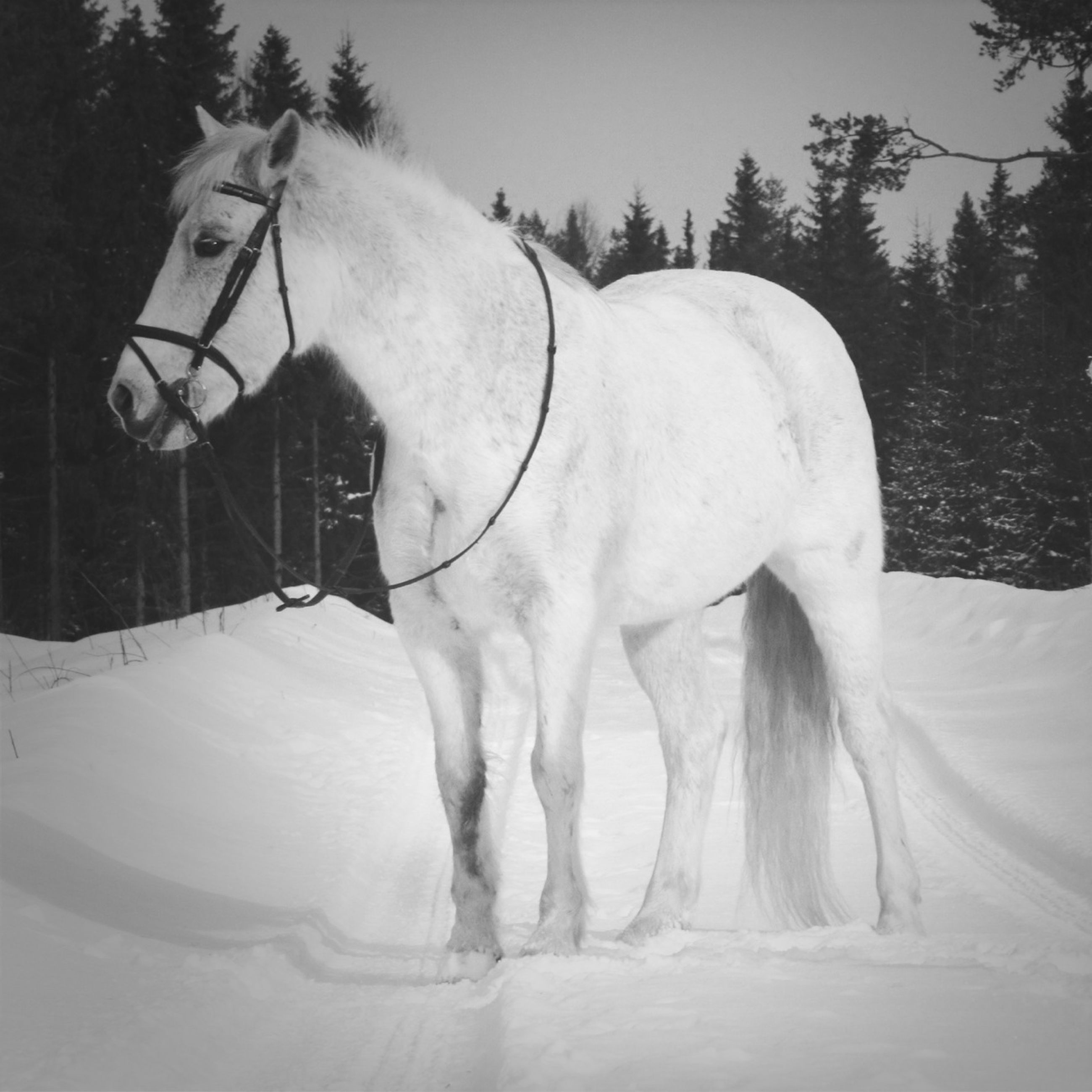 horse, animal themes, domestic animals, white color, livestock, mammal, herbivorous, working animal, field, one animal, standing, tree, white, nature, sunlight, day, two animals, full length, outdoors, side view