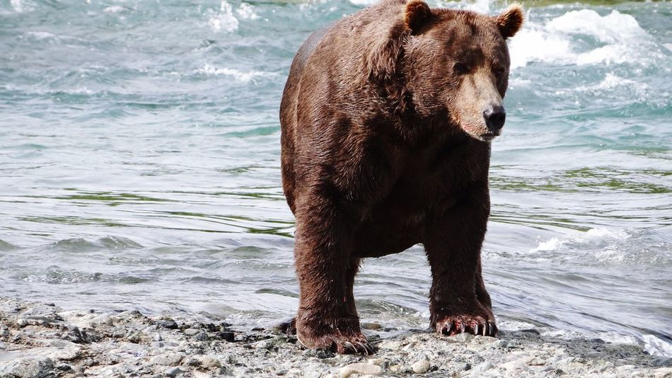 Bear Grizzly Bear Animal Wildlife Nature Animals In The Wild Outdoors Alaska Katmai National Park McNeil River State Game Sanctuary Wildlife Wildlife Photography