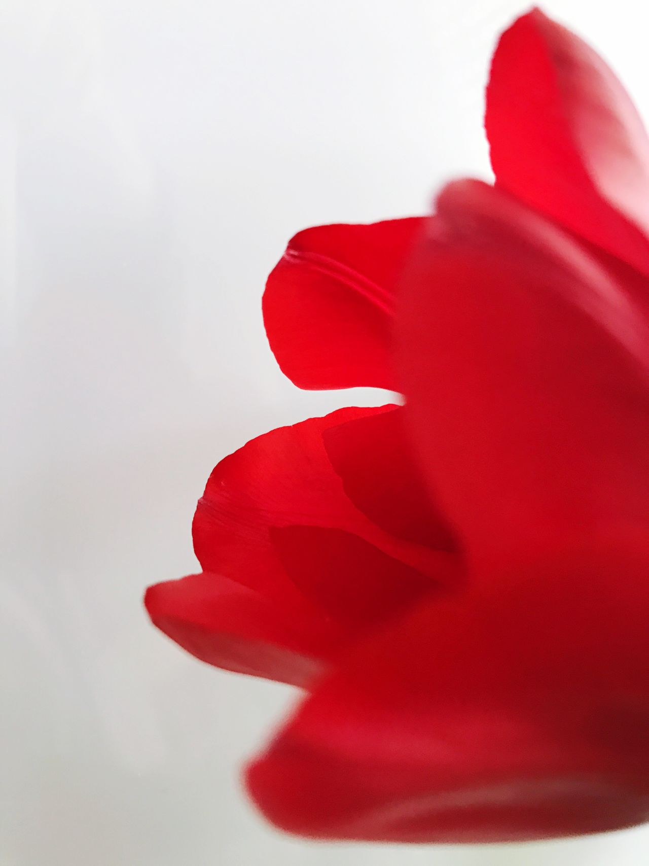 Flower Red Petal Nature Beauty In Nature Flower Head Fragility Close-up Growth Freshness No People White Background Minimal Minimalism Minimalist Red Indoors  Photooftheday Tulip Tulips Tulips🌷 Minimalobsession Minimalistic Minimalmood