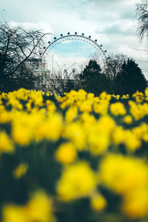 Art Is Everywhere Beauty In Nature Flower Jonquille London London Attractions London Eye London Eye, London London Eye🎡 London Lifestyle London Park London Parks London Streets Narcissus Narcissus Flowers No People Osterblumen Osterglocke Selective Focus The Secret Spaces Tourism Travel London Yellow Yellow Everywhere!  Yellow Flower