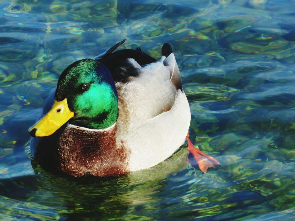 Beautiful stock photos of duck, Animal Themes, Animals In The Wild, Beak, Beauty In Nature