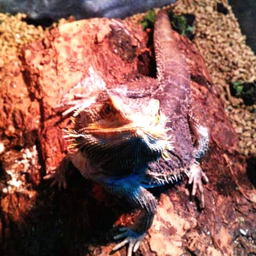 Bearded Dragon Reptile Lizard My Boy Posing For The Camera Colorful Reptile Beautiful Nature Nature Color Photography Taking Photos No People, Indoors  Adolescent Maximum Closeness