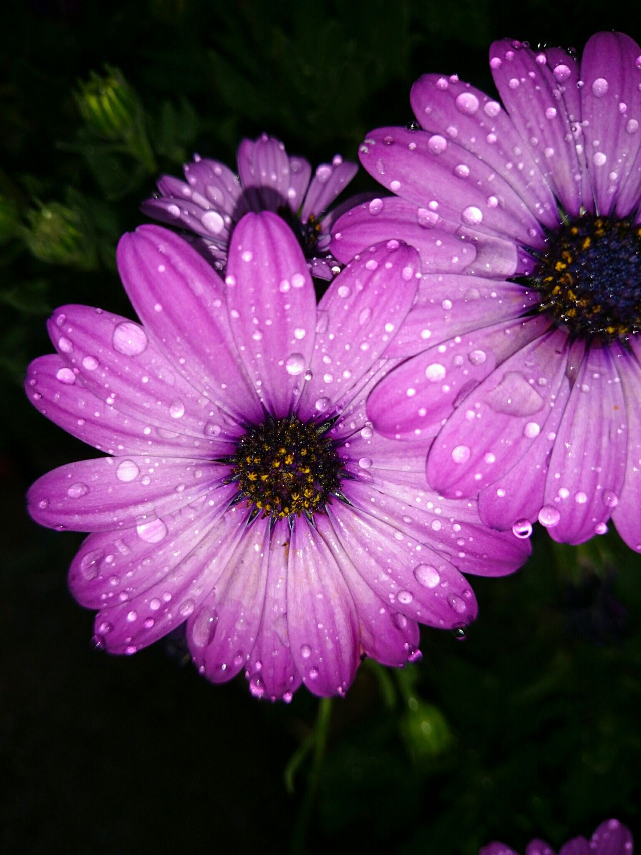 Flores Margaritas Lluvia :3 Gotas De Lluvia Flower Fragility Petal Purple Nature Freshness Beauty In Nature Flower Head Plant No People Outdoors Growth Osteospermum Day Close-up Water Black Background