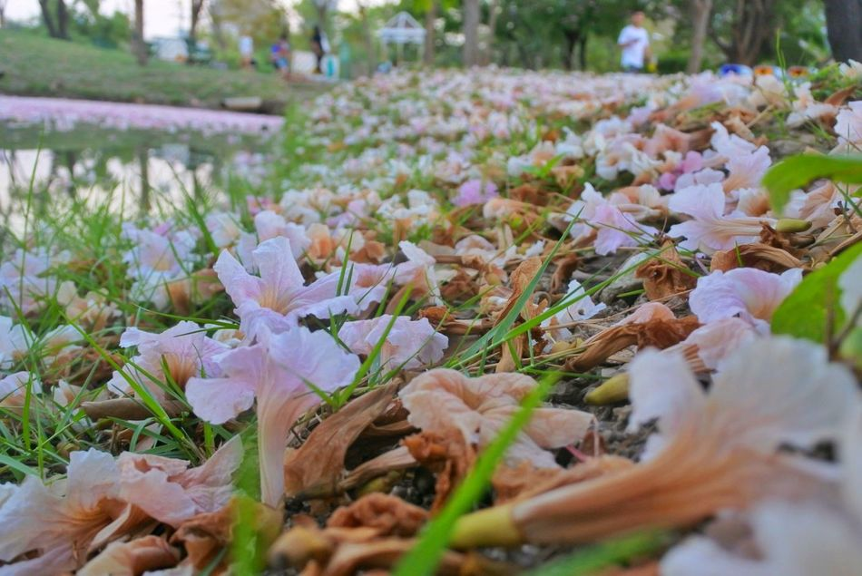 Grass Plant Outdoors Nature Flower No People Beauty In Nature Leaf Field Lawn Swards Flower On The Ground Flower On The Grass Petal Pink Trumpet Tree Pink Trumpet