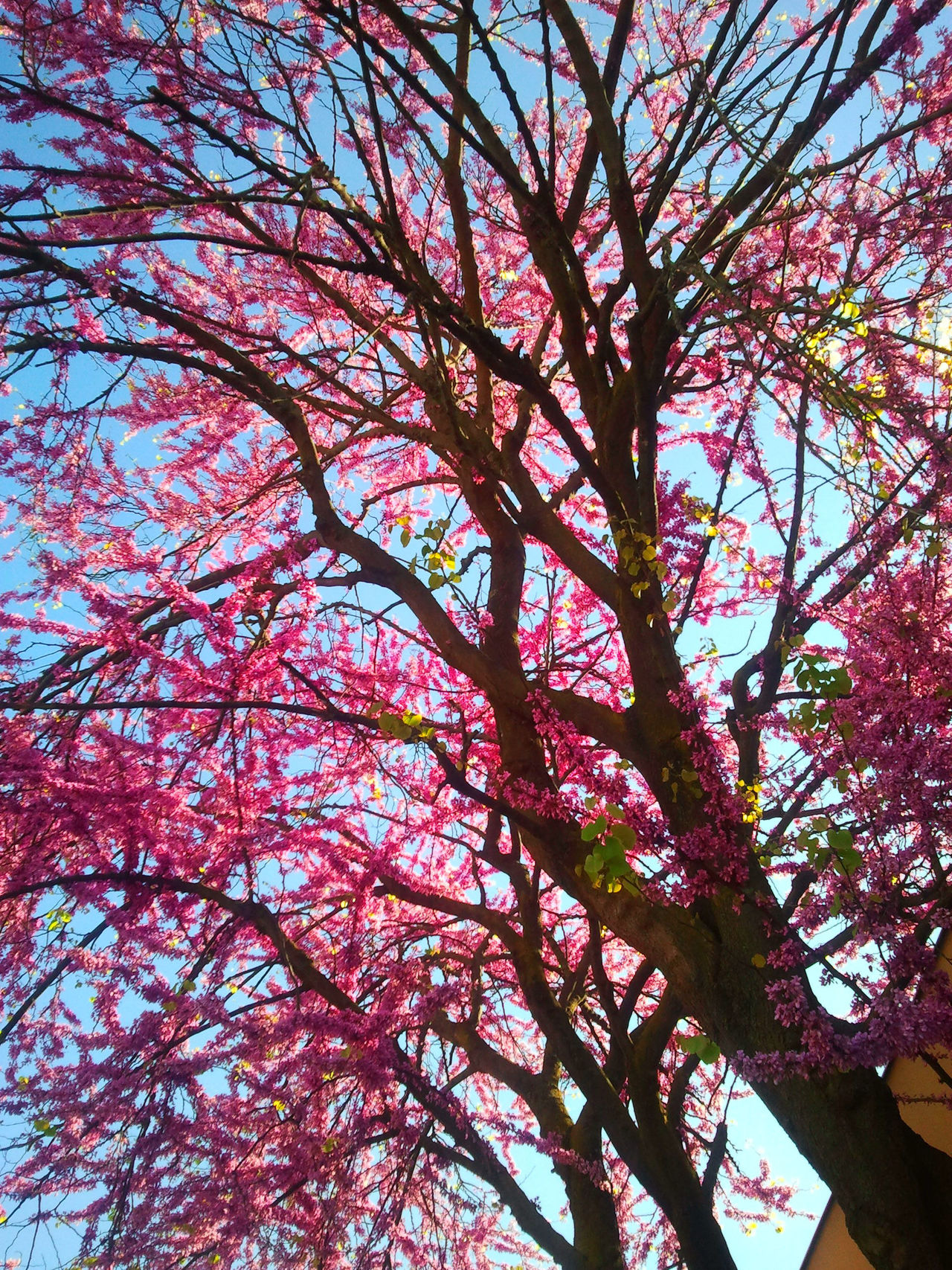 spring into spring And All The Wildflowers Are In Bloom Beauty In Nature Blue Sky Day Growth Low Angle View Nature No People Outdoors Pink Colour Pink Flowers Showcase April Sky Spring Into Spring Spring Into Spring Blossoming In The Fresh Morning Sun New Blossoms Nature Collection Tree