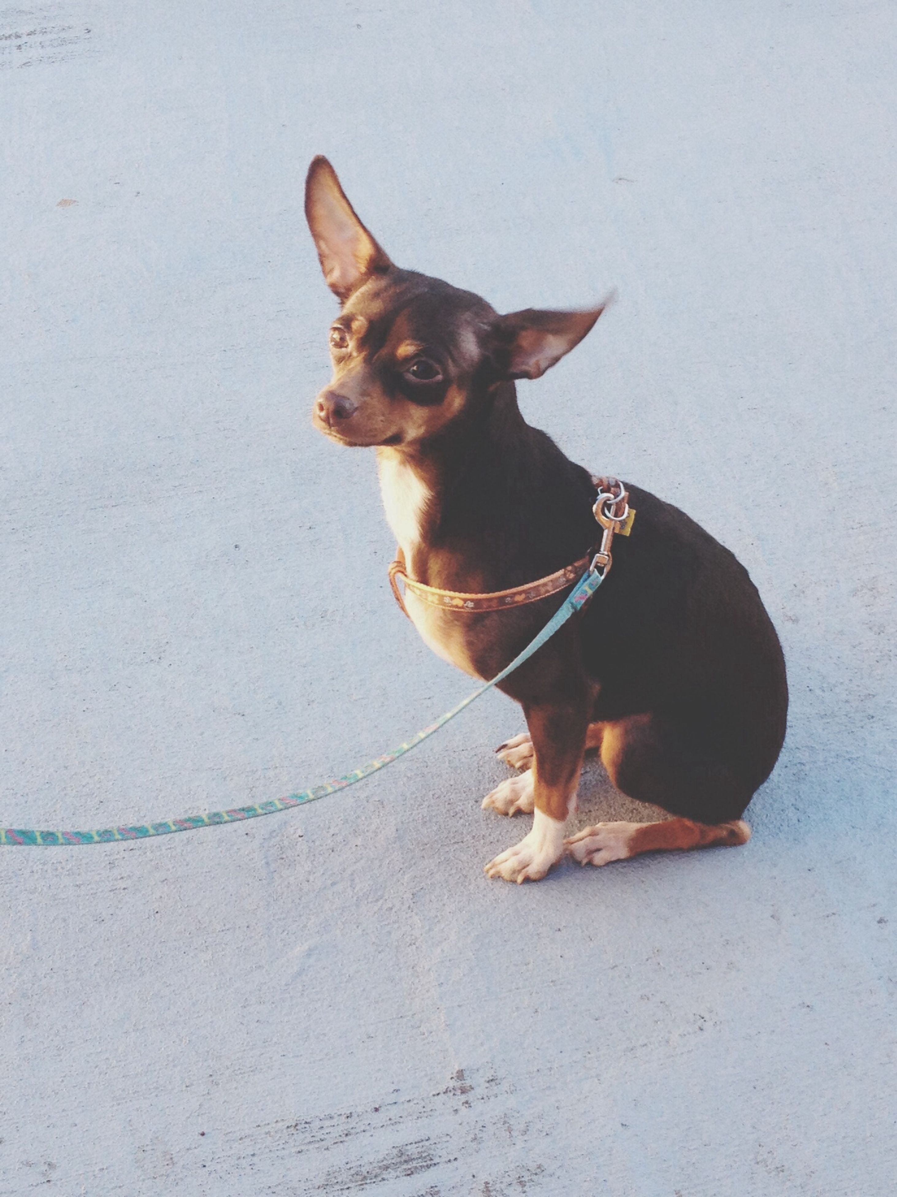 pets, domestic animals, one animal, animal themes, dog, mammal, full length, pet collar, looking at camera, sitting, portrait, pet leash, standing, no people, street, zoology, animal, outdoors, black color