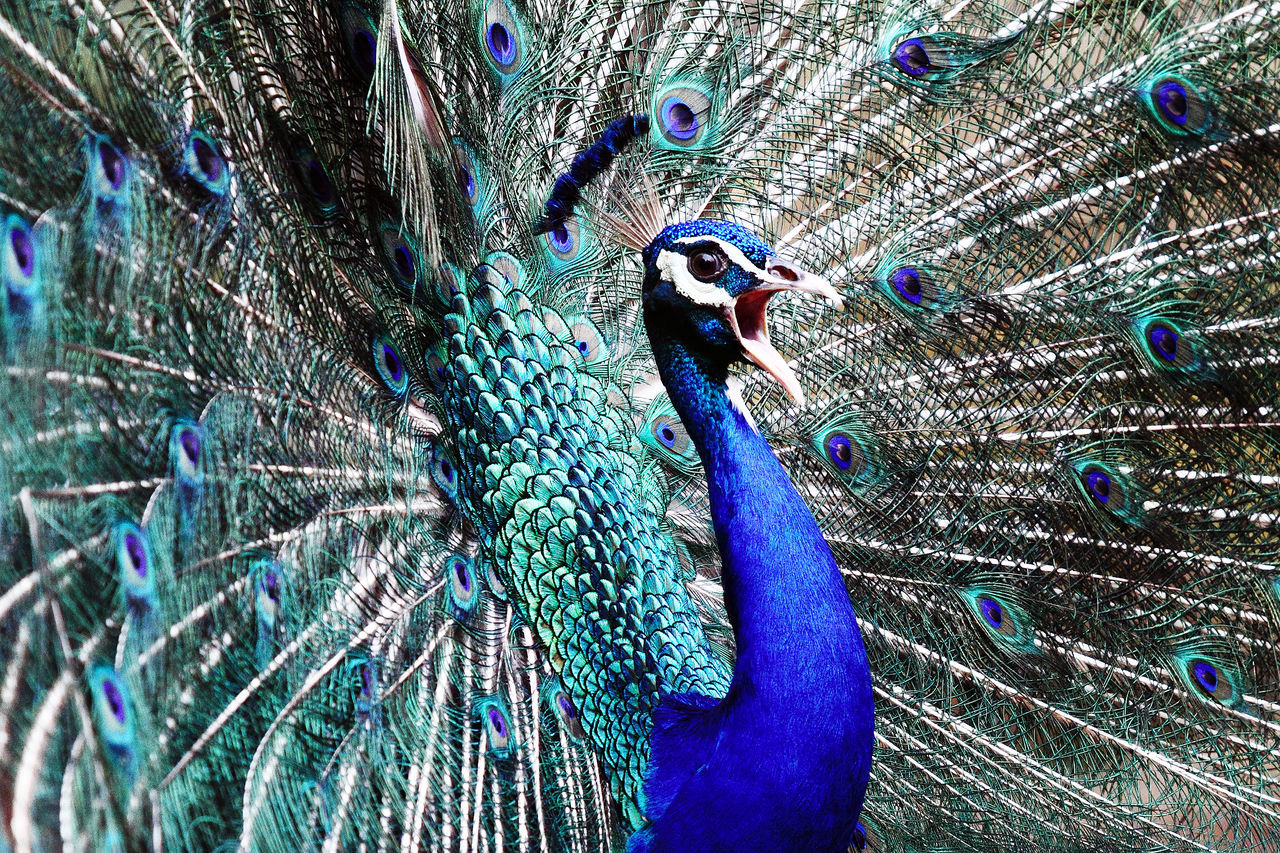 Merak Biru (Pavo cristatus) Animalia Pavo Cristatus Animal Themes Animals In The Wild Attraction Aves Beauty In Nature Beuty Bird Birds_collection Blue Close-up Day Exotic Fanned Out India Nature No People One Animal Outdoors Pavo Peacock Peacock Feather Pheasant Walk