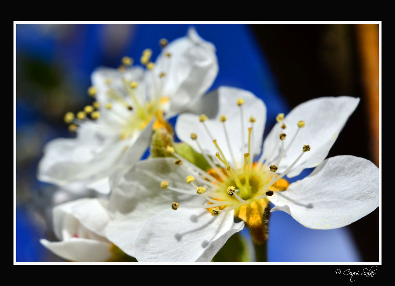 flower, petal, fragility, flower head, freshness, white color, beauty in nature, stamen, nature, pollen, no people, selective focus, close-up, springtime, blossom, growth, day, outdoors