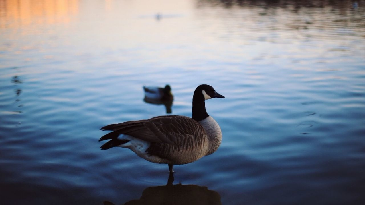 water, animal themes, animals in the wild, lake, bird, nature, waterfront, duck, swimming, no people, water bird, animal wildlife, day, outdoors, beauty in nature